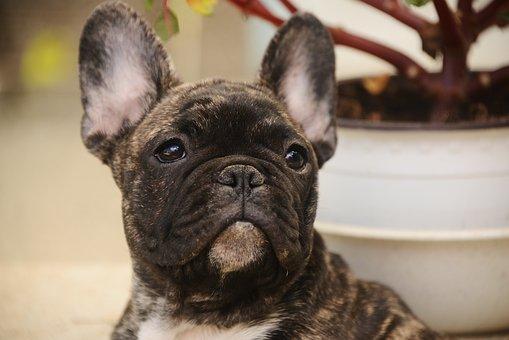 귀여운, 개, 애완 동물, 초상화, 동물, 프랑스의, 불독, 강아지