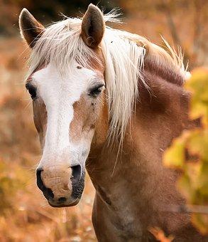 Equine, Horse, Head, Horses, Pre