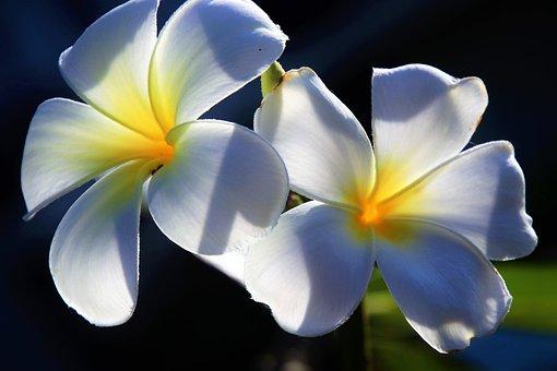Fleur, Plumeria, Pétale, Le Tropical