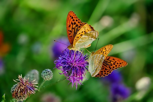 Nature, Butterfly, Fritillary, Insect