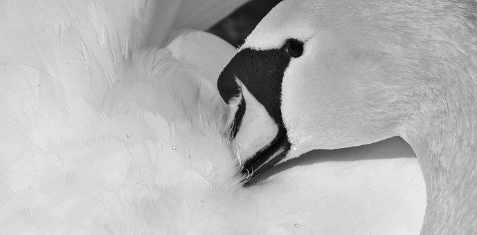 100 Gambar Bebek Hitam Putih Untuk Diwarnai Paling Hist