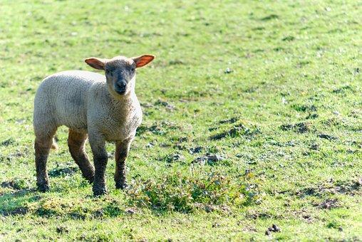 Sheep, Livestock, Prairie, Farm, Field