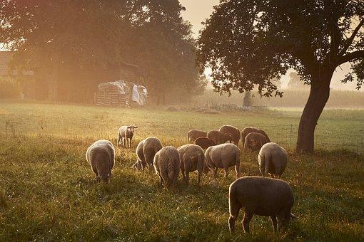Sheep, Grass, Agriculture, Mammal