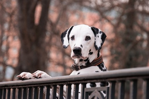 Dalmatians, Dogs, Pet, Good, Dalmatians