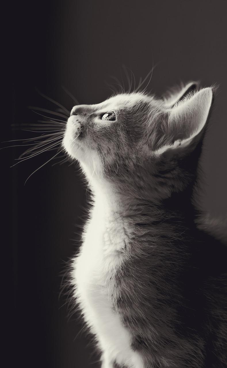 считается разновидностью картинка котенок смотрит вправо поставить чашку