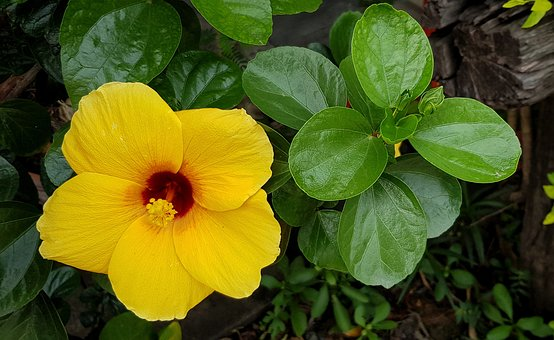 Hibiscus, Full, Bloom, Yellow, Red