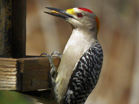 Woodpecker, Bird, Wildlife, Nature