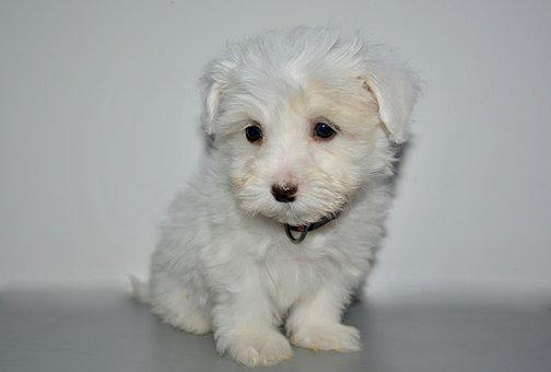 Puppy, Young Dog Coton Tulear