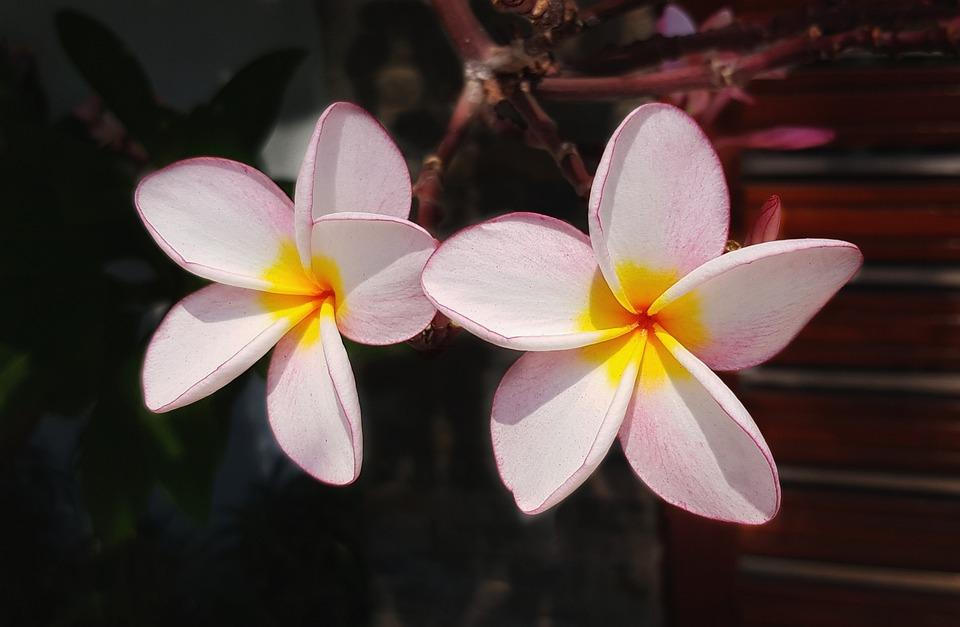 Plumeria flower frangipani free photo on pixabay plumeria flower frangipani pink white petal mightylinksfo Choice Image