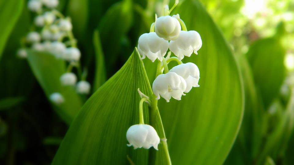 Lily of the valley white flower free photo on pixabay lily of the valley white flower plant spring mightylinksfo