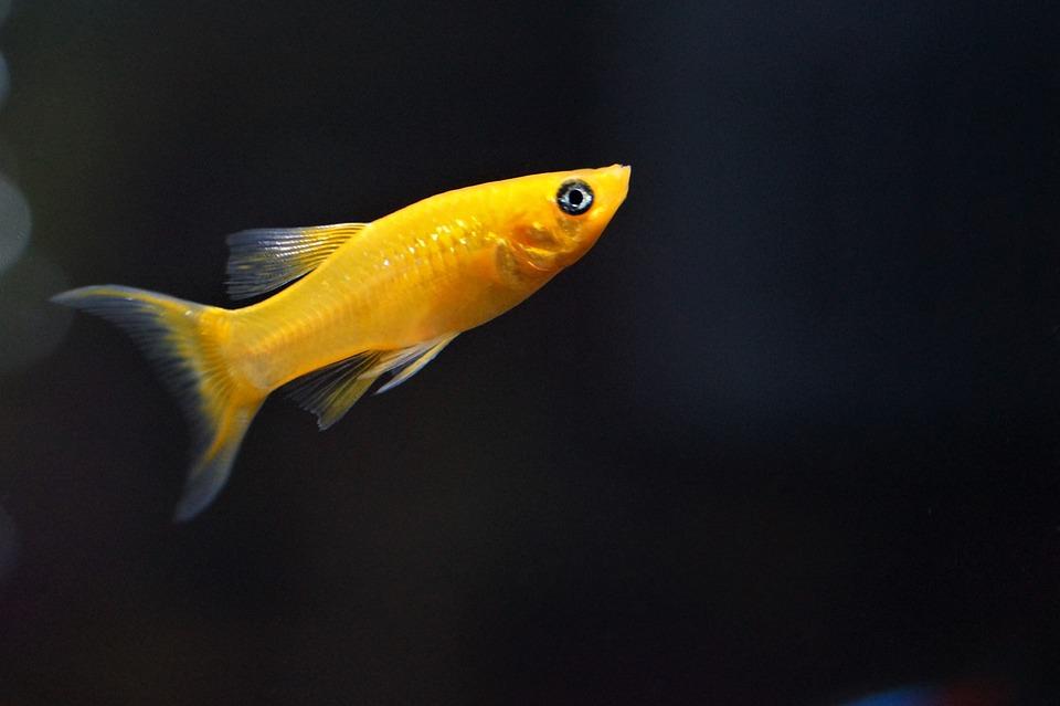 Pesce acquario d 39 acqua dolce oro foto gratis su pixabay for Pesce pulitore acqua dolce