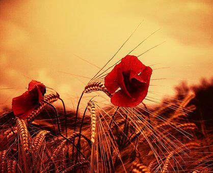 Poppy flower images pixabay download free pictures poppy flower red wild flower fields mightylinksfo Image collections