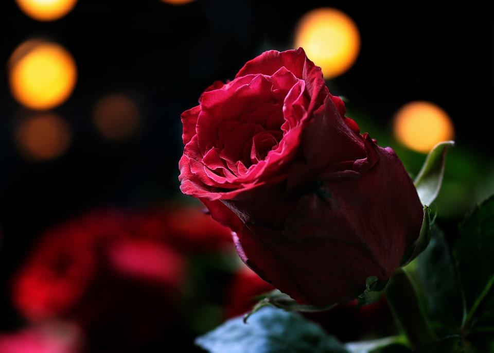 Rosa, Bokeh, Rosa Rossa, Natura, Floribunda