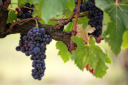 Fruit, Grape, Vines, Wine, Vineyard