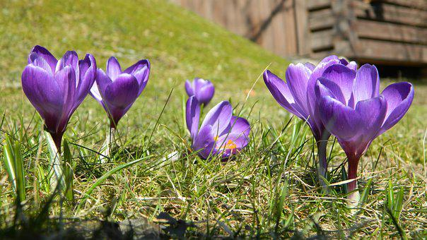 Crocus, Purple, Flower, Plant, Spring