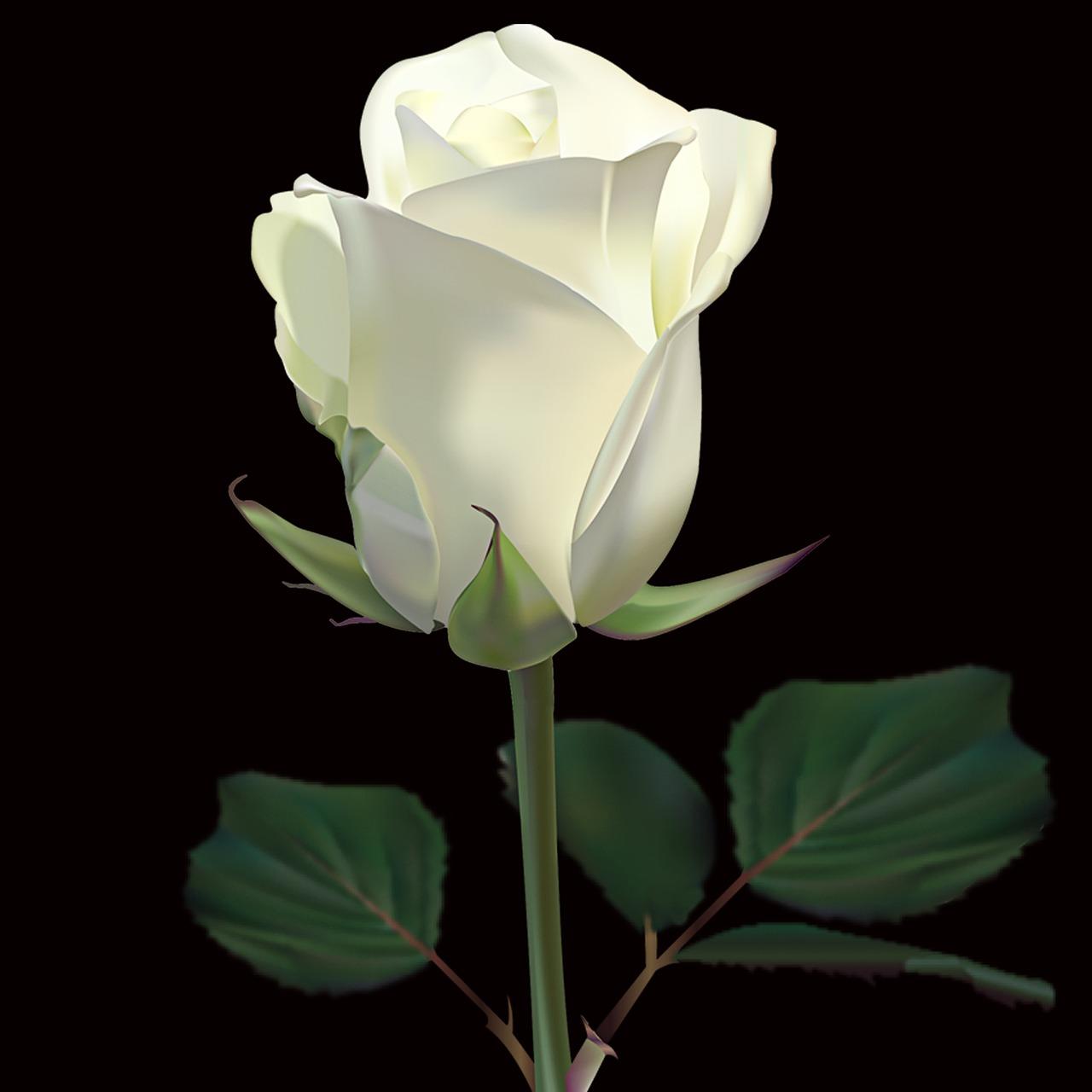 картинка белы бутон розы прикольных