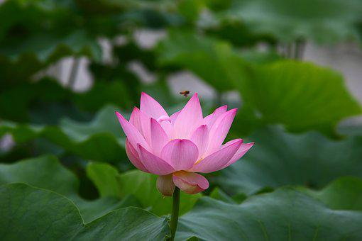 Lotus Leaf Images Pixabay Download Free Pictures