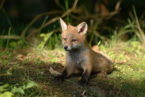 Mammals, Fox, Wildlife, Natural, Wild