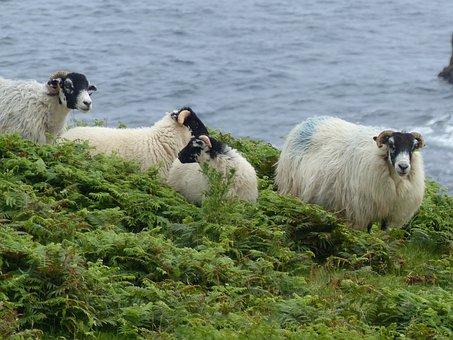 Nature, Sheep, Outdoor, Mammal, Animal