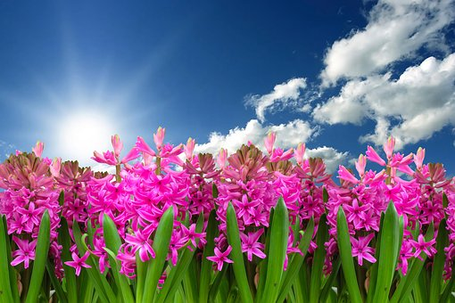 Blooming images pixabay download free pictures flower nature plant hyacinth spring mightylinksfo Images