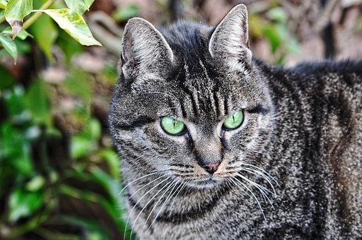 Cat, Tabby, Animal, Mammal, Feline