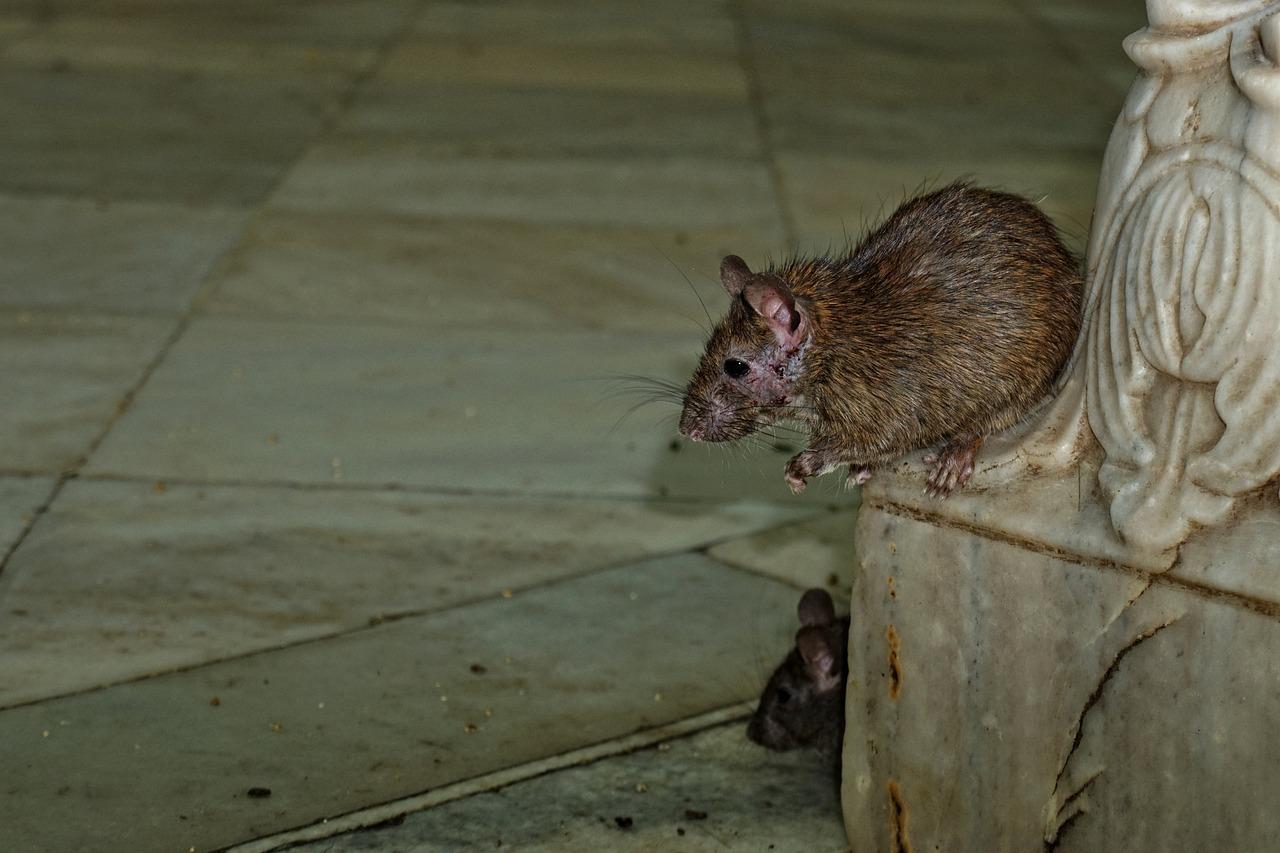 卡尔尼 马塔 寺,大鼠,性质,动物,哺乳动物,生物,印度