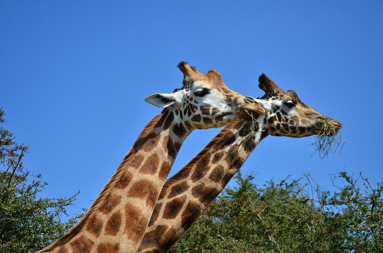 Картинки жирафов настоящих