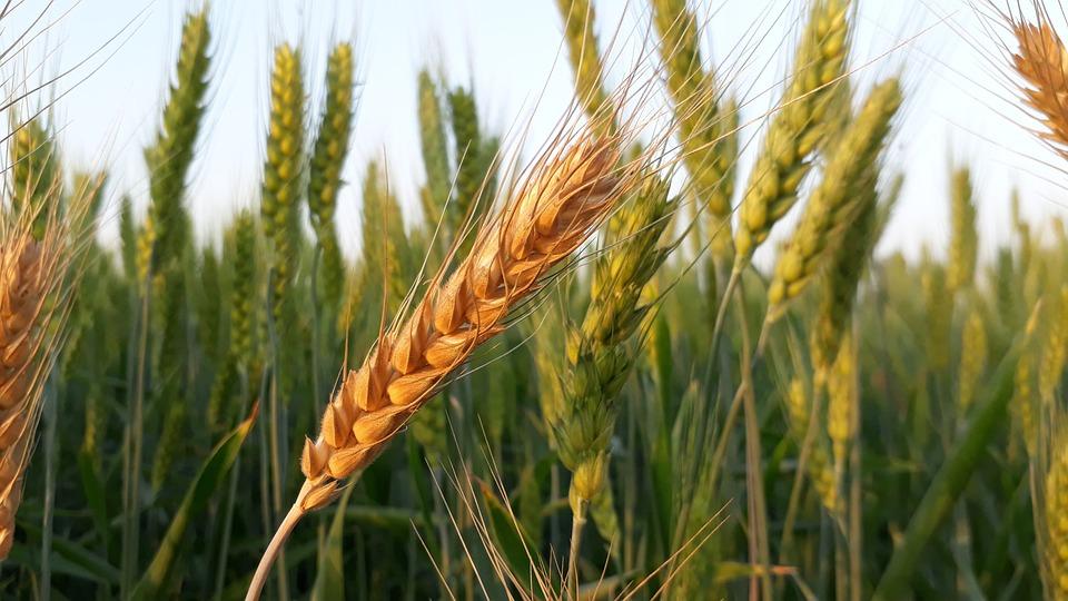 Grano, Cereali, Pane, Colture, Paglia, Seme