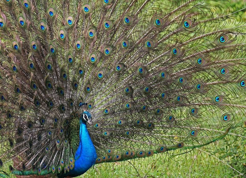 孔雀, 鶏, 目, 自然, クジャクチョウ, 孔雀の羽, 色, 青, 美しさ, の壮大さを, 鳥, ファン