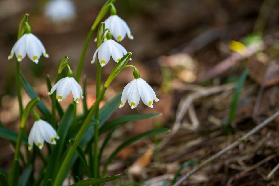 Цветок, Подснежник, Природы, Завод, Предвестником Весны