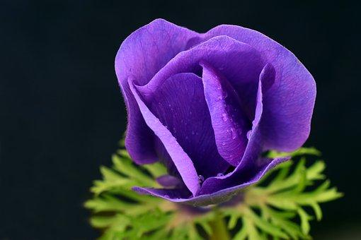 Blue poppy images pixabay download free pictures poppy blue poppy blossom bloom mightylinksfo