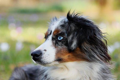Australian Shepherd, Blue Merle, Dog