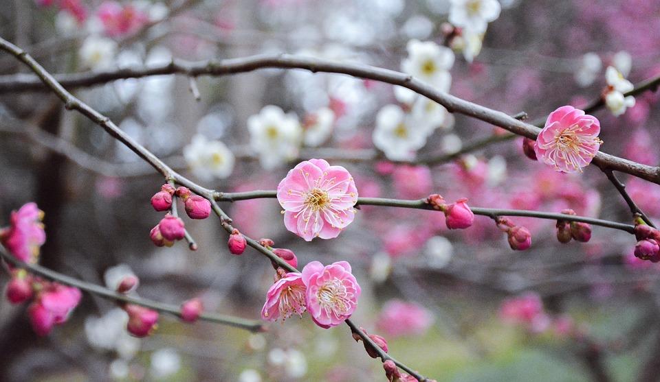 Branche De Cerisier fleur branche bois de cerisier · photo gratuite sur pixabay