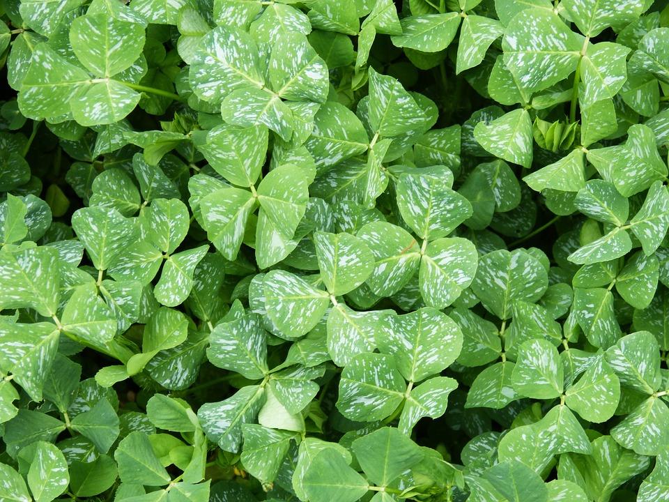 Clover, Clubs, Green Carpet, Background, Texture, Leaf