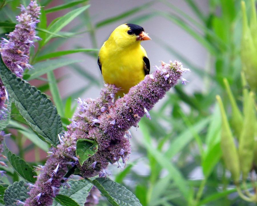 Uccello, Natura, Selvatici, Animale, Fiori, Issopo