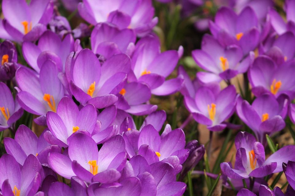 Azafrán Flores De - Foto gratis en Pixabay