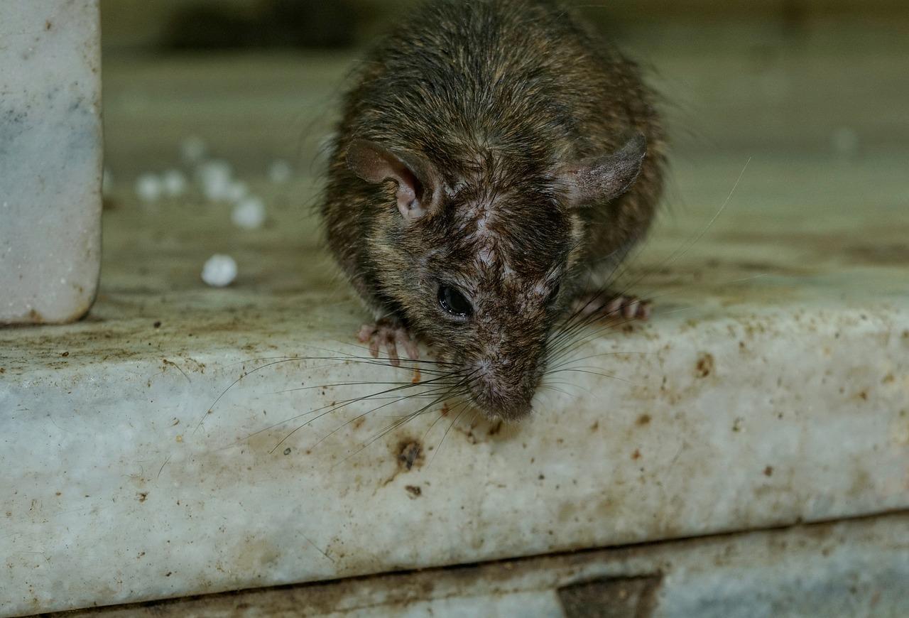 啮齿动物,哺乳动物,动物,可爱,大鼠,nager,动物肖像,卡尔尼 马塔 寺,生物,印度,deshnok