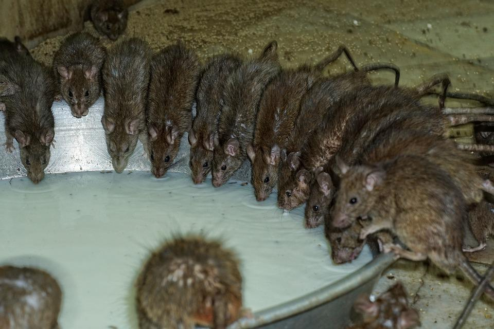 Tikus di Karni Mata Mandir