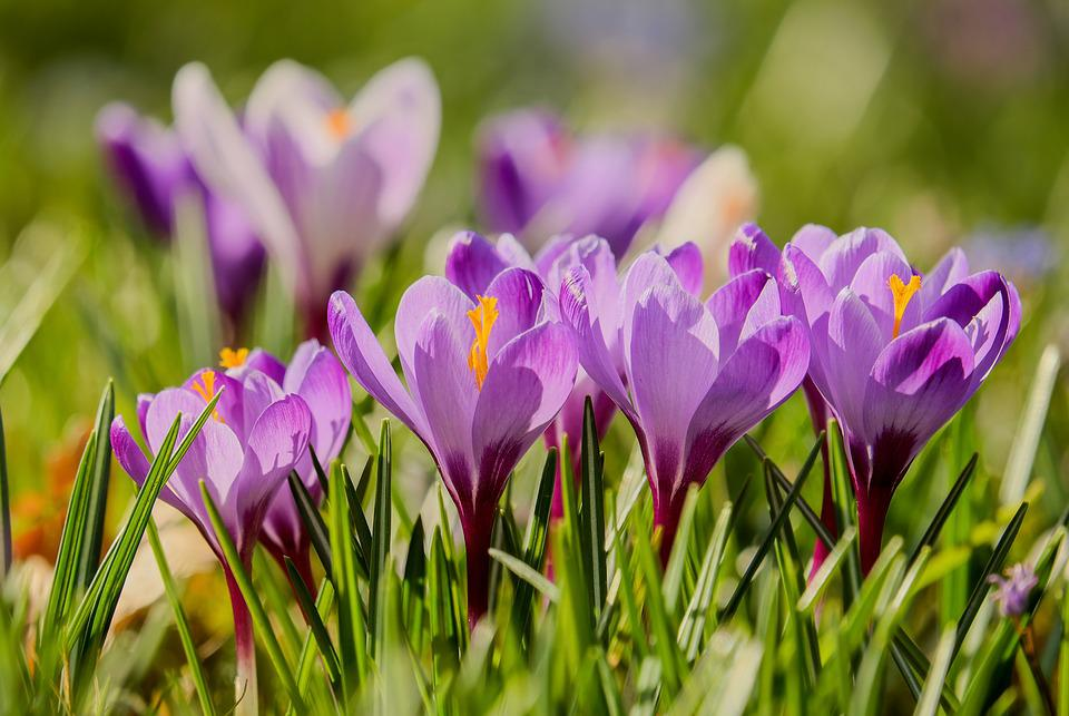 Crocus, Backlighting, Sunlight, Flowers, Bloom, Purple