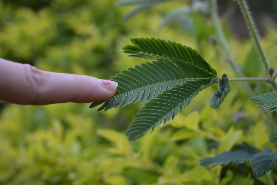 Berühre Mich Nicht, Mimose, Schüchterne Pflanze