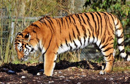 Kepala Harimau Gambar Unduh Gambar Gambar Gratis Pixabay