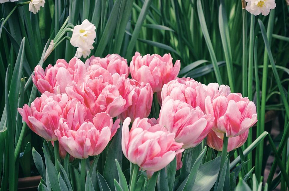 Тюльпан, Цветок, Растение, Сад, Природа, Лист