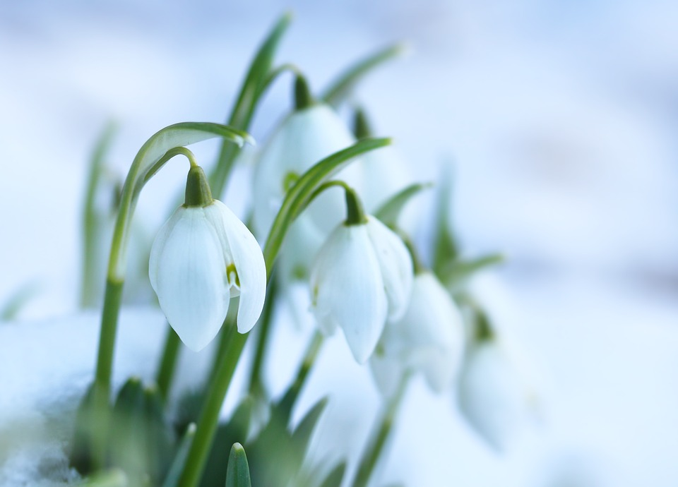 Snowdrops Spring Flowers Flower 183 Free Photo On Pixabay