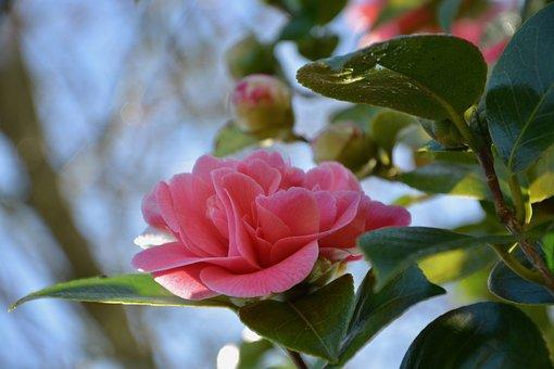 山茶花の花言葉3つ・種類・色別花言葉・椿との違い