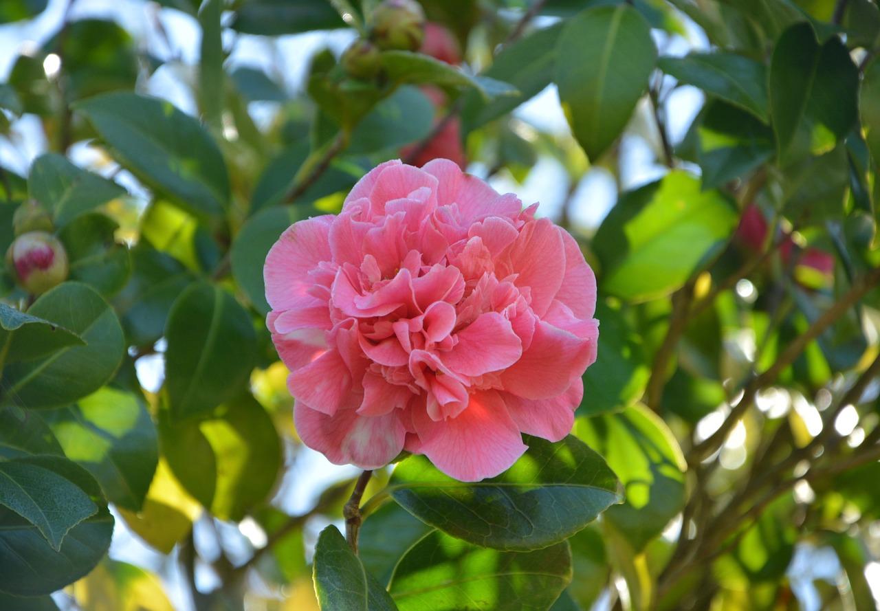 Камелия цветок болезни фото