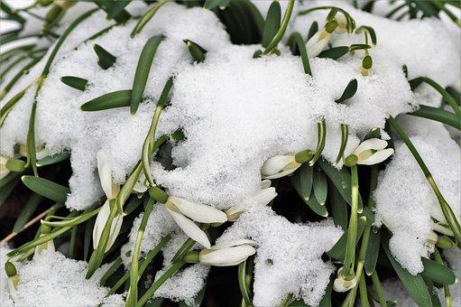 Schneeglöckchen, Unter Dem Schnee