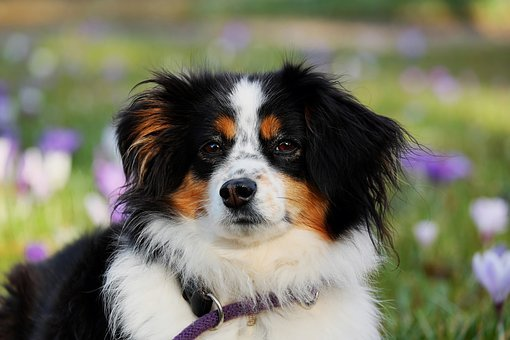 Australian Shepherd, Dog, Animal