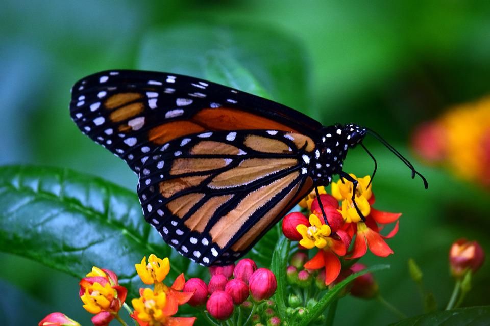 https://cdn.pixabay.com/photo/2018/03/18/18/36/monarch-3237830_960_720.jpg