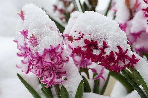 Hyazinthe, Blüte, Blume, Schnee