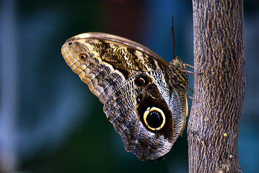 Butterfly, Owl Butterfly, Tropical